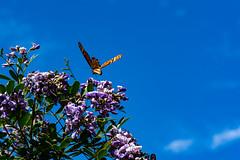 Butterflies_047-2 (allen ramlow) Tags: macro butterflies spring insect sony alpha austin texas