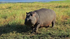 Botswana Hippo in Chobe National Park (h0n3yb33z) Tags: botswana animals wildlife chobenationalpark hippo hippopotamus africa