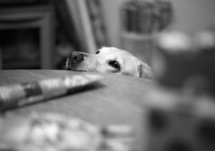 Santa's Helper (PositiveAboutNegatives) Tags: nikonf vintagecamera slr nikon plainprism eyelevel 58mm cosinalvoigtlander cv58mmf14 film analog bw blackandwhitefilm foma fomapan fomapan100 rodinal 150 coolscan christmas dog lab labrador yellowlab