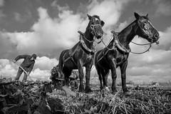 Boer Pante op zien hof - A in B&W (Drummerdelight) Tags: boer pante horses paarden low pov blackwhite lowpov