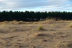 Sun on dunes (nz_willowherb) Tags: scotland fife tentsmuir beach winter dunes