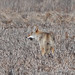 Coyote Hunting at Metzger Farm Open Space, Colorado. Photo 4 of 4