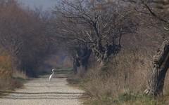 Grande aigrette - IMG_5624 (6franc6) Tags: occitanie languedoc gard 30 milhaud janvier 2019 6franc6 vélo kalkoff vae roadbike