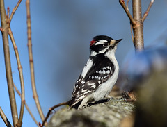 3090.=021019 Ghosted by a Blue Jay (laurie.mccarty) Tags: bird bokeh tree animal downy downywoodpecker woodpecker nature