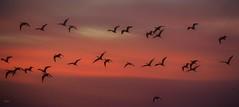 Ibis Out (beachpeepsrus) Tags: ibis birds light sihlouette bird longbeachcalifornia longbeachgranprix l