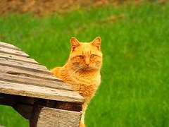 19-02-22 gattorosso pelocorto_ (gabriele.romano@live.it) Tags: gatto rosso animali felino verde natura legno gabriele romano 2019 febbraio campagna green cat animals nature