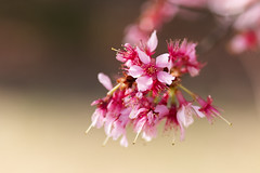 Cherry Blossoms (brandon_gerringer) Tags: cherryblossoms cherry cherryflowers flowers flowerphotography macro macrophotography nature naturephotography pink green canon tamron spring