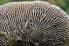 Tammekakk; Daedalea quercina; sokkelokääpä (urmas ojango) Tags: seened fungi polyporales torikulaadsed coriolaceae daedalea tammekakk daedaleaquercina sokkelokääpä