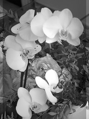 harada-flowers-76 (annie harada) Tags: flowers hana blumen fleurs bouquet noir et blanc black white