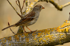 White-crowned_Sparrow_female_01 (DonBantumPhotography.com) Tags: wildlife nature birds animals whitecrownedsparrow donbantumphotographycom donbantumcom