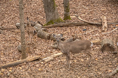 DILO - March 20 2019 Equinox (15) (tommaync) Tags: dilomar2019 equinox spring 2019 march nikon d7500 northcarolina nc dilo nature animals wildlife deer trees doe
