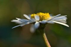 Daisy in the Sun (pstenzel71) Tags: blumen natur pflanzen daisy gänseblümchen bellisperennis darktable flower bokeh