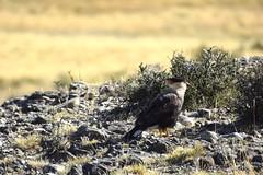 Caracara aka carancho (SilkeBritt) Tags: patagonia chile torresdelpaine