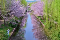 Spring, Kyoto,Japan (Vincent_Ting) Tags: 中書島 月桂冠 櫻花 river reflection 伏見十石舟 京都 kyoyo cherryblossom