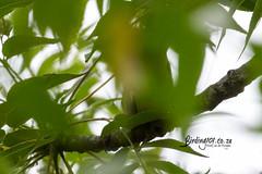 Icterine Warbler, Satara, Kruger National Park, Jan 2019 (roelofvdb) Tags: 2019 625 date icterinewarbler january knp place satara southernafricanbirds warbler warblericterine year