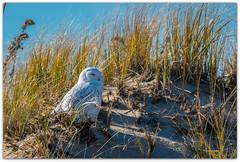 Snowy Owl (NYMatt) Tags: owl owls snowyowl snowyowls birdsofprey raptors nikond500 nikon200500 birder birdlovers birding birdwatcher birdwatchers birdsofnewengland