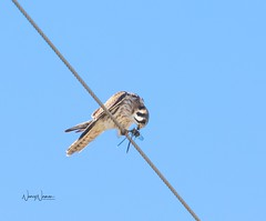 American Kestrel with Dragonfly (N2NATURE PHOTOGRAPHY) Tags: american kestrel dragonfly prey perched bexar co texas winter