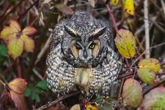 Long-eared Owl / Hibou moyen-duc (shimmer5641) Tags: asiootus longearedowl hiboumoyenduc búhochico owl raptor birdsofprey birdsofbritishcolumbia northernlongearedowl
