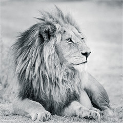 The King's look (He Ro.) Tags: 2018 africa afrika botswana safari southernafrica botsuana africanlion lion malelion pantheraleo blackwhite bw wild wilderness okavangodelta predator mammal big5 bigcat grass shindeconcession canivores animal löwe ngc npc