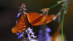 Natural Beauty (Nephentes Phinena ☮) Tags: botanischergartenkiel butterfly kiel nikond300s schmetterlinge