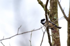 Black capped chickadee (tommikeyes) Tags: wildlifephotography wildlife nature bird chickadee blackcappedchickadee