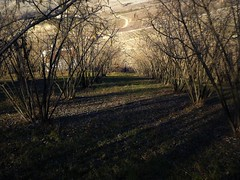 l'inverno dei nocciòli (fotomie2009) Tags: piemonte piedmont italy italia trees noccioli noccioleto alberi shadows ombre lunghe winter inverno scape landscape paesaggio colline warm tones toni caldi