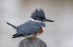 Belted Kingfisher (f) (Chuck Hantis) Tags: