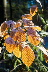 Remains of autumn (cgerull) Tags: leaves backlit frost winter beechleaves