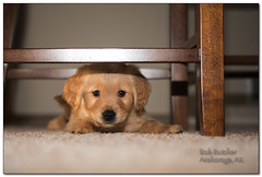 new puppy in town (BobButcher) Tags: george goldenretriever nikon d750 nikkor60mmf28
