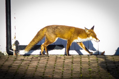Fox on the move again (London Less Travelled) Tags: uk unitedkingdom britain england london northlondon barnet finchley eastfinchley city urban suburban suburbia suburb suburbs fox street wild wildlife