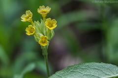 Echte Schlüsselblume (Primula veris) (renate.marquardt) Tags: blumen flowers blüten blossoms natur nature