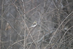 Goldfinch (j.miner) Tags: hawthornehillnaturecenter elginil goldfinch
