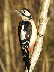 Great Spotted Woodpecker ♂ (Dendrocopos major) (eerokiuru) Tags: greatspottedwoodpecker dendrocoposmajor buntspecht suurkirjurähn dzięciołduży woodpecker bird p900 nikoncoolpixp900