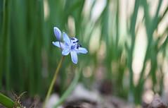 """La fée bleue (passionpapillon) Tags: macro fleur flower scille bleu blu bokeh color passionpapillon 2019 """"doublefantasy"""""""