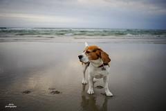 The dog and the sea (adi_stoica2001) Tags: sonya7m2 rokkor rogaland norway norge dog beagle rayqual minoltamdwrokkor35mmf28 minolta hellestøstranden stand stavanger beach