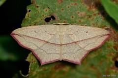 Timandra (Calothysanis) comae (Schmidt, 1931) (Jesús Tizón Taracido) Tags: hexapoda insecta lepidoptera geometroidea geometridae sterrhinae timandrini timandracomae