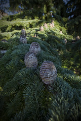 Tra i rami dei grandi alberi mi sono arrampicato per guardare il cielo... (michelina cipro) Tags: alberi verdi grandi boschi cielo bambini pigne
