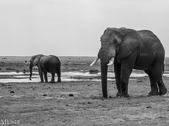 Kenya - 2008 - il y a 10 ans déjà (paul.porral) Tags: naturephotography nature animals flickr ngc countryside outside naturaleza landscape safariphoto safarikenya kenya amboseli elephants bnw bw blackandwhite noiretblanc mono monochrome nb