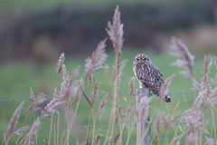 Short-eared Owl (cliveyjones) Tags: shortearedowl owl saltmarsh nature wildlife