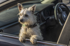 181123_365 From my trip to New Zealand (MiFleur...Thanks for visiting!) Tags: newzealand travel waihekeisland dog pet chien car