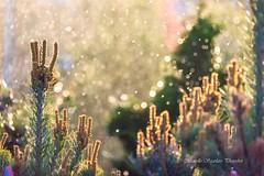 Light in nature (Marcello Sgarlato Photoshot) Tags: bokeh flora controluce backlight light nature sunrise sunset