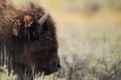 Tête de bison (Samuel Raison) Tags: bison buffalo wildlife nature naturephotography wildlifephotography wild animal animauxsauvages lamarvalley yellowstone yellowstonenationalpark yellowstonewildlife nikon nikond800 nikon4600mmafsgvr