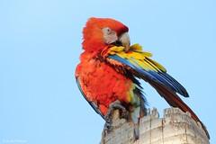 Ara macao (Wildlife and nature - Colombia) Tags: aramacao scarletmacaw guacamayabandera macaw guacamaya preening feathers
