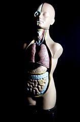 human model torso (lauradavison) Tags: anatomical model vintage human body skeleton medical biology torso internal organs
