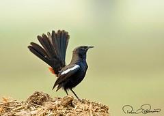 1 (TARIQ HAMEED SULEMANI) Tags: sulemani tariq tourism trekking tariqhameedsulemani winter wildlife wild birds nature nikon