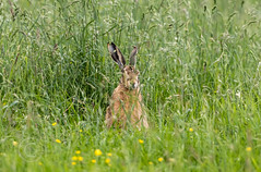 Wildlife around Magdalen June 2018 357 (Mark Schofield @ JB Schofield) Tags: reservoir water peat moorland bog moss agriculture yorkshire huddersfield wessenden head pule buckstones scammonden royd edge valley holme colne marsden meltham digley march haigh west nab deer emley mast lapwing curlew hare bird wildlife oyster catcher chick young short eared owl pennine way south pennines peak national park trust hills moors vallies hunting little duck mallard grouse kestrel red grey wagtail flight fly