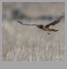Flickr--2019-01-17-2662.jpg (frankpaliphotography) Tags: prey hawk hunting nature cyaneus birds flying circus brown background flight marsh female ornithology blue wild wildlife feathers predator wings bird harrier outdoors northern isolated raptor sky field