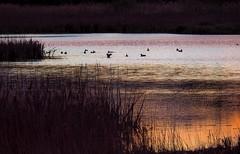Poètica de l'Estany 3 (jocsdellum) Tags: poetic estanydesils capvespre sunset aigua water ocells pájaros birds lahoramágica themagichour