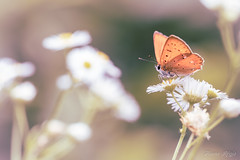 """On se chauffe les ailes"" (regisfiacre) Tags: lycaena virgaureae cuivré verge or orange papillon butterfly schmetterling farfalle insect insecte insekt bug bugs ailes wings nature sauvage wild wildlife macro macrophoto macrophotography macrophotographie canon 5div mark iv 4 plein format full frame sigma 150mm apo ex dg os hsm moselle france eté summer sommer"