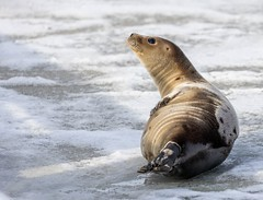 Newfoundland Seal (Karen_Chappell) Tags: seal animal mammal nature wildlife ice snow winter brown white holyrood canada avalonpeninsula atlanticcanada eastcoast newfoundland nfld